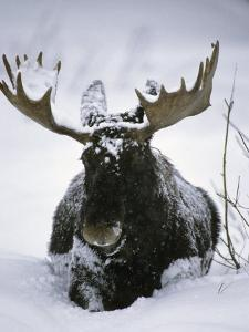 Bull Moose Wading Through Three Feet of Snow by Michael S^ Quinton
