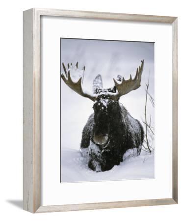 Bull Moose Wading Through Three Feet of Snow
