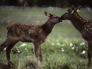 Calf Elk Get to Know Each Other by Michael S^ Quinton