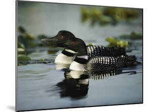 Close View of a Mated Pair of Common Loons Swimming in Tandem by Michael S. Quinton