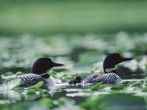 Common Loon (Gavia Immer) Mated Couple Swimming Among Water Plants, Wyoming by Michael S^ Quinton