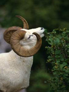 Dall's Sheep Ram Eating Alder Leaves, Alaska by Michael S. Quinton