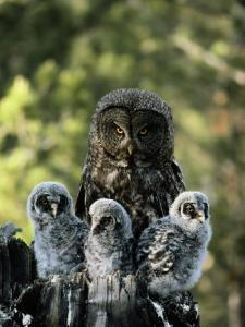 Female Great Gray Owl and Her Three Babies by Michael S^ Quinton