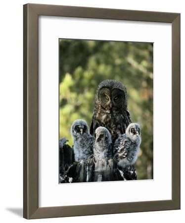 Female Great Gray Owl and Her Three Babies