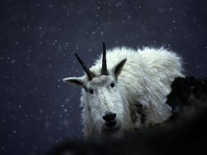 From its Craggy Winter Haunts, a Mountain Goat Peers at an Intruder by Michael S^ Quinton