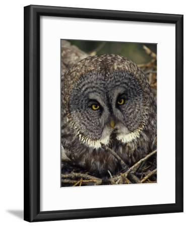 Great Gray Owl on Nest