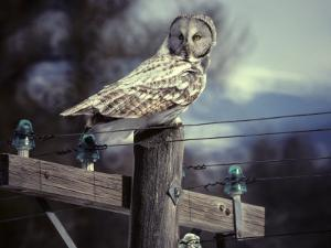 Great Gray Owl on Old Telephone Poles by Michael S^ Quinton
