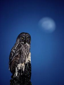 Great Gray Owl (Strix Nebulosa) on a Stump by Michael S. Quinton