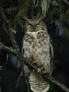 Great Horned Owl (Bubo Virginianus), Alaska by Michael S^ Quinton