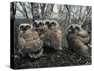 Great Horned Owlets, Five Weeks Old, Stand in a Cluster