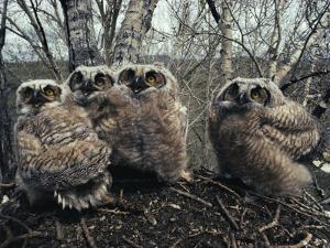 Great Horned Owlets, Five Weeks Old, Stand in a Cluster by Michael S. Quinton