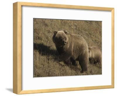 Grizzly Bear (Ursus Arctos), Alaska