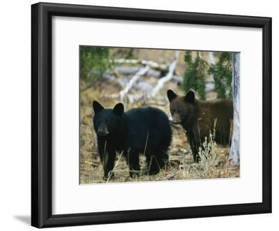 Juvenile American Black Bears