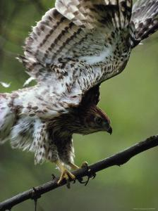 Juvenile Northern Goshawk Works Its Wings, Ready to Fly, Montana by Michael S^ Quinton