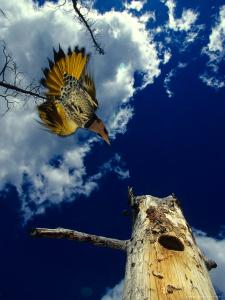 Male Northern Flicker Flies to Nesting Cavity, Alaska by Michael S. Quinton