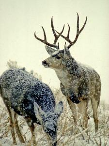 Mule Deer Buck Watches over His Doe, Yellowstone National Park, Wyoming by Michael S^ Quinton