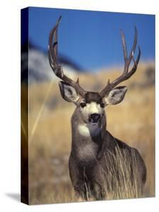 Mule Deer Buck, Yellowstone National Park, Montana by Michael S. Quinton