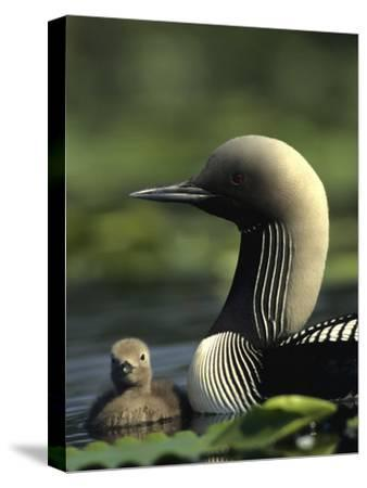Pacific Loon and Chick on Pond in Alaska
