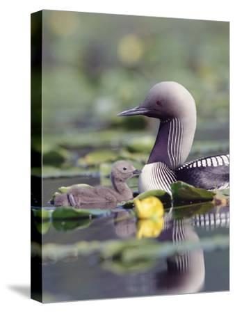 Pacific Loon (Gavia Pacifica) Parent and Chick Swimming Among Water Lilies