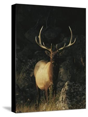 Portrait of a Bull Elk with Large Antlers