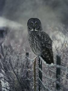 Portrait of a Great Gray Owl on a Frosty Fence in Winter by Michael S^ Quinton