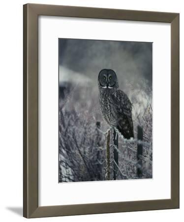 Portrait of a Great Gray Owl on a Frosty Fence in Winter
