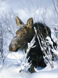 Portrait of a Moose in the Snow by Michael S^ Quinton