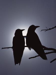 Raven (Corvus Corax) Pair Perching on a Branch, Backlit by Filtered Sunlight by Michael S^ Quinton