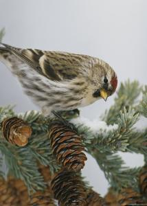 Redpoll Finch Perched on a Snow-Dappled Fir Branch with Cones by Michael S. Quinton