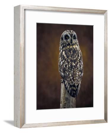 Short Eared Owl, Idaho