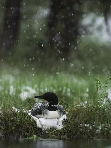 Snow Falls on a Loon Incubating its Nest by Michael S^ Quinton