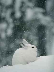 Snow Falls on a Snowshoe Hare in its Winter Coat by Michael S^ Quinton