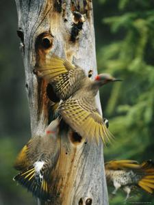 Trio of Northern Flickers Around a Nesting Hole in an Old Snag by Michael S. Quinton