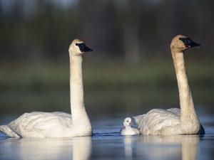 Trumpeter Swan (Cygnus Buccinator) Mother and Father with Single Chick by Michael S^ Quinton