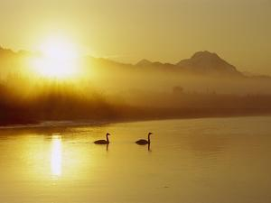 Trumpeter Swan (Cygnus Buccinator) Pair on Lake at Sunset, North America by Michael S. Quinton