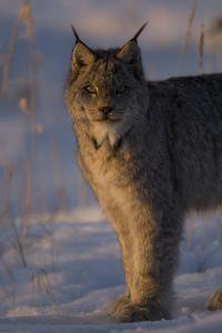 Twilight Portrait of a Canadian Lynx, Lynx Canadensis, in Snow by Michael S^ Quinton