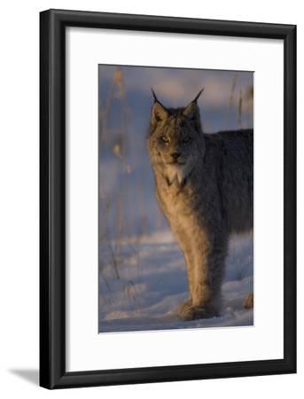 Twilight Portrait of a Canadian Lynx, Lynx Canadensis, in Snow