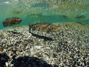 Two Rainbow Trout Swim in a Shallow Stream Above Sunlit Gravel by Michael S^ Quinton