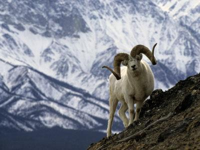Very Large Dall Sheep Ram on the Grassy Slopes of its Winter Range