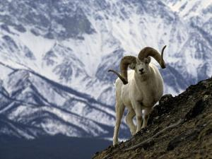Very Large Dall Sheep Ram on the Grassy Slopes of its Winter Range by Michael S. Quinton