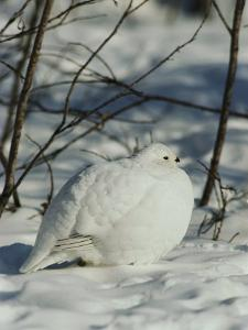 White-Tailed Ptarmigans Blending with the Snow by Michael S^ Quinton