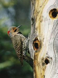 Yellow Shafted Northern Flicker on an Old Snag with Nesting Holes by Michael S. Quinton