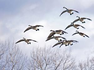 Canadian Geese, Iowa, USA by Michael Scheufler