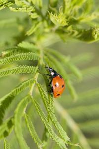 Lady Bug (Coccinella Magnifica), Kansas, USA by Michael Scheufler