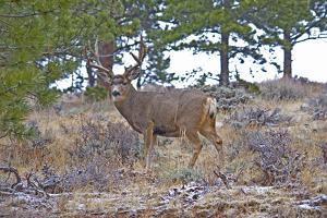 Mule Deer in Estes Park, Colorado, USA by Michael Scheufler