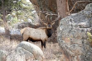 USA, Colorado, Bull Elk being Suspicious. by Michael Scheufler