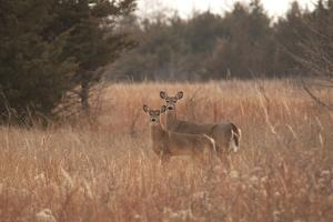 USA, Kansas, White tail Doe and youngster. by Michael Scheufler