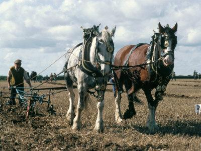 Ploughing with Shire Horses, Derbyshire, England, United Kingdom