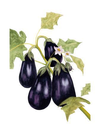 Watercolor Eggplant
