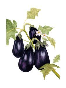 Watercolor Eggplant by Michael Willett
